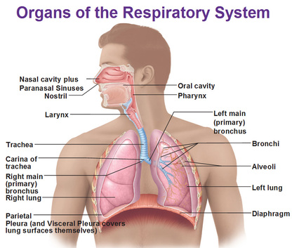 The Respiratory System Anatomy Physiology Ii